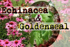 Echinacea & Goldenseal Combined for Immune System Support